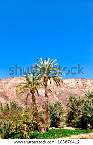 Morocco oasis date palms with mountains in the background and bright blue sky overhead. Copy space. Location: Draa Valley in eastern Morocco - stock photo