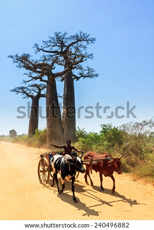 MORONDAVA, MADAGASCAR - SEPTEMBER 13, 2013: Very typical image of a Malagasy man with his Zebu car on the road with Baobab trees near Morondava, Madagascar, on September 13, 2013 - stock photo