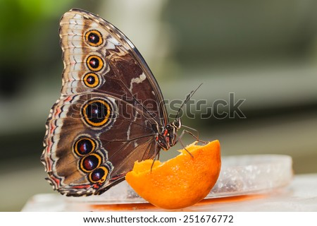 Morpho, butterfly of Central America, Costa Rica - stock photo