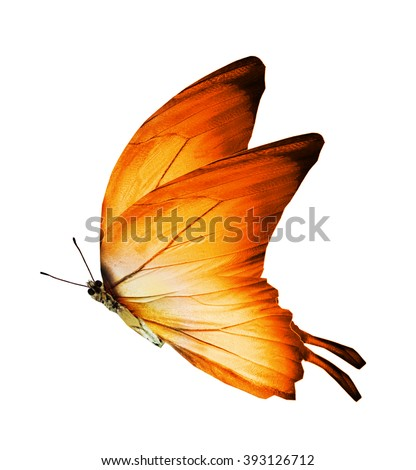 Morpho orange butterfly , isolated on white - stock photo