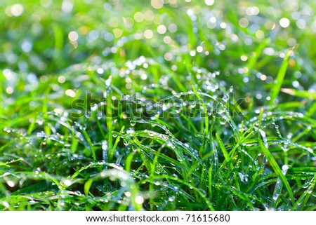morting dew on the grass. closeup view.