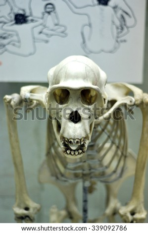 MOSCOW - NOV 14: Skull of a human ancestor at The State Darwin Museum in Moscow on November 14. 2015 in Russia