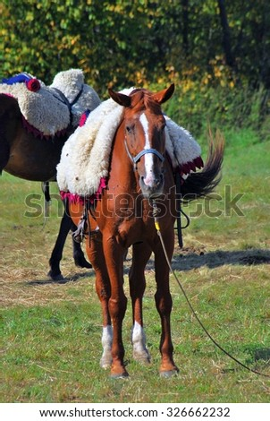 MOSCOW REGION, BORODINO, RUSSIA - SEPTEMBER 07, 2014: Horses at Borodino battle historical reenactment.