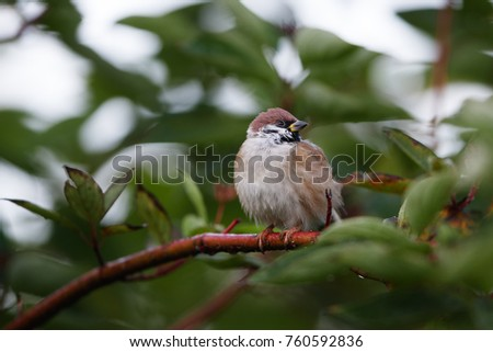 Moscow, Russia. Botanical garden. The Eurasian tree sparrow (Passer montanus) sitting on a branch surrounded by green leaves