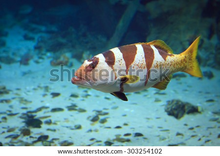 Moscow, Russian Federation - October 26, 2012: Moscow ocenarium - big tiger grouper under water