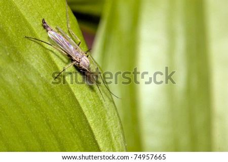 Mosquito an green leaf - stock photo