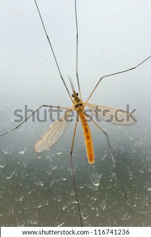 Mosquito bug on dirty window - stock photo