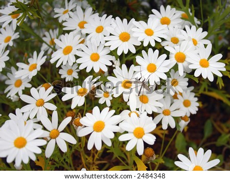 Mosquito insect on camomile flowers - stock photo