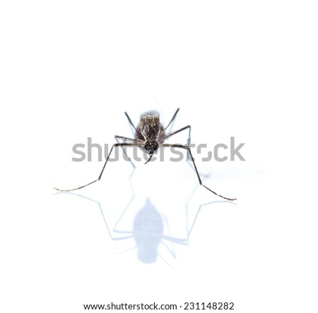 Mosquito isolated on white background - stock photo