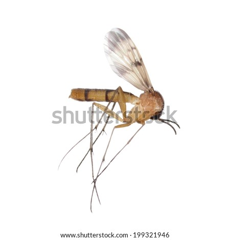 Mosquito isolated on white background, Culex pipiens - stock photo