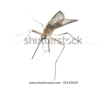 Mosquito isolated on white background. Extreme close-up - stock photo