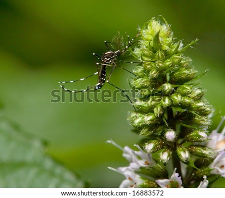 Mosquito on a mint flower - stock photo