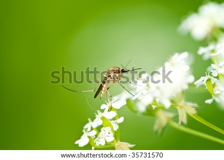 Mosquito on flower over natural green - stock photo