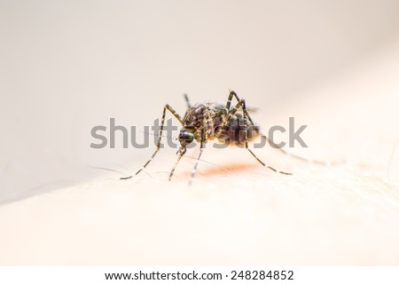 Mosquito on human skin with its stomach full with human blood  - stock photo