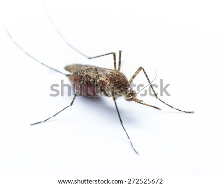 Mosquito on white background with red human blood in the insect's stomach    - stock photo