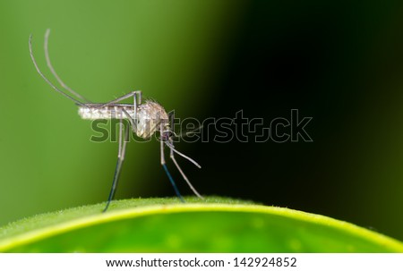 Mosquito resting on green leaf - stock photo