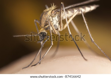 Mosquito sucking blood, extreme close-up - stock photo