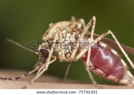 Mosquito sucking blood, extreme close-up with high magnification, focus on eyes, - stock photo
