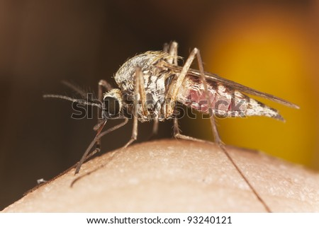 Mosquito sucking blood from human arm, extreme close-up - stock photo
