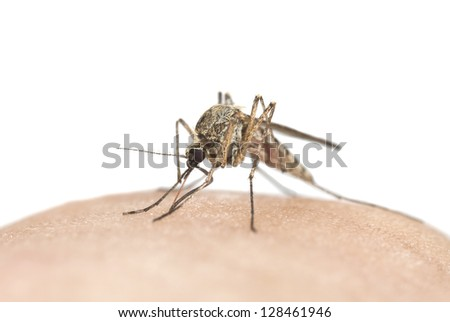 Mosquito sucking blood, macro photo with copy space - stock photo