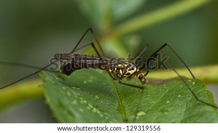 mosquitoe - stock photo