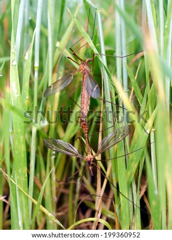 mosquitoes, mating on plants background - stock photo