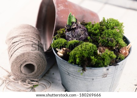 Moss and bulb  flowers in vintage bowl on white wooden background. Selective focus. Spring background. Gardening concept. - stock photo