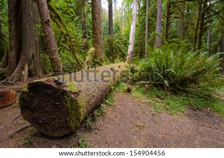 Moss covered rainforest in Olympic National Park - stock photo