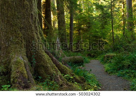 Moss-covered trunk of a large tree by path in the Quinault Rainforest, Washington