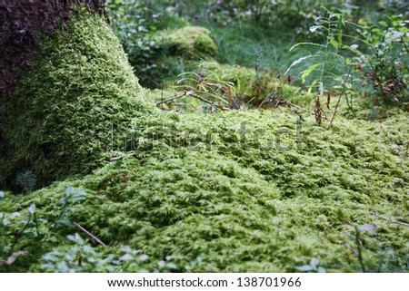 Moss floor in the virgin forest (manual focus on the moss near the root) - stock photo