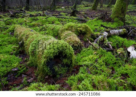 Moss overgrowing dead, rotting trees in a moist forest
