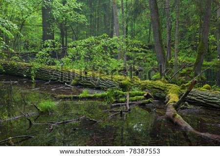 Moss wrapped oak trees lying in water inside of Bialowieza Forest stand
