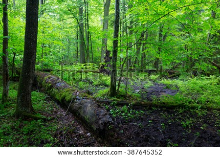 Moss wrapped part of broken oak lying in front of spruces of Bialowieza Forest,Bialowieza Forest,Poland,Europe