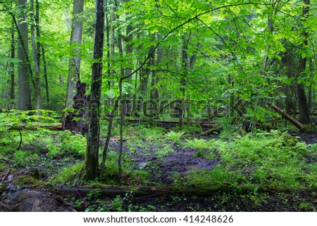 Moss wrapped part of broken tree lying in front of deciduous stand of Bialowieza Forest with some ferns,Bialowieza Forest,Poland,Europe - stock photo