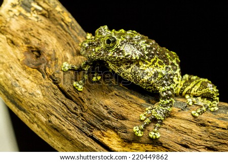 Mossy Frog (Theloderma corticale) Tree frog native to Vietnam - stock photo