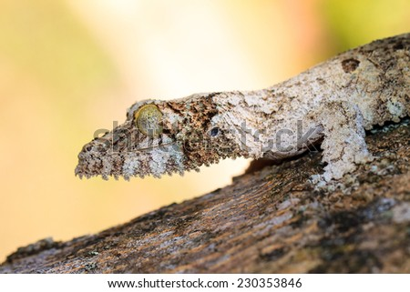 Mossy leaf-tailed gecko (Uroplatus sikorae) camouflaged on a tree in Madagascar - stock photo