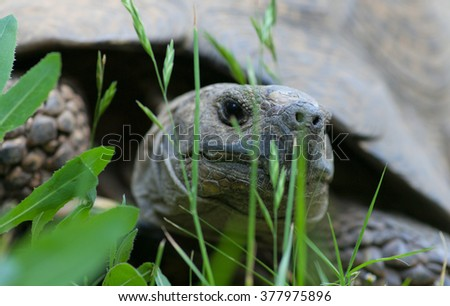 Most African tortoise in the streets of Addis Ababa - stock photo