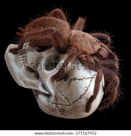 Most aggressive spider. The Chilobrachys Vietnam Blue tarantula on the skull. XL size. - stock photo