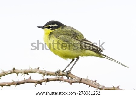 Motacilla flava / Yellow Wagtail in natural habitat - stock photo