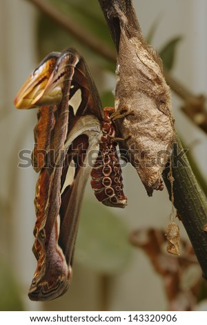Moth (Attacus atlas) seated on his cocoon - stock photo