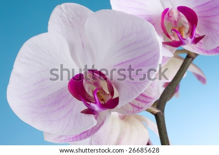 Moth Orchid isolated on Blue - stock photo