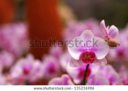 moth orchid or Phalaenopsis in the orchid garden - stock photo