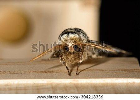 Moth with large antenna resting on a wooden box - stock photo