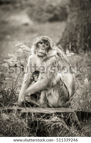 Mother and baby Barbary Macaque monkey sitting on a tree stump.