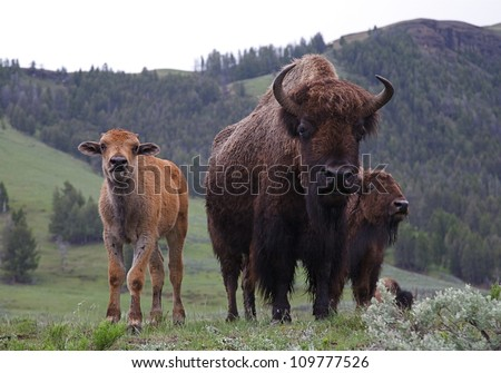 Mother and Baby Buffalo (bison) in late spring / early summer, Lamar River Valley, Yellowstone National Park, Wyoming / Montana;  bison cow and calf - stock photo