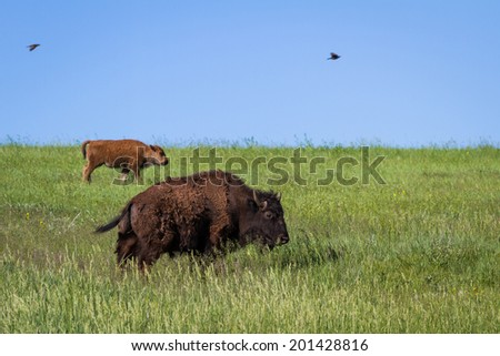 mother and baby buffalo or Bison roaming in the grasslands of South Dakota - stock photo