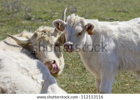 Mother and baby cow licking their noses together whilst looking at the camera - stock photo