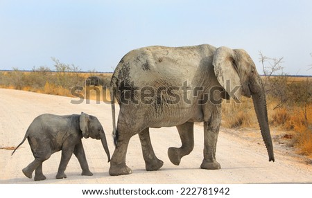 Mother and Baby Elephant walking across the hot sand in Namibia - stock photo