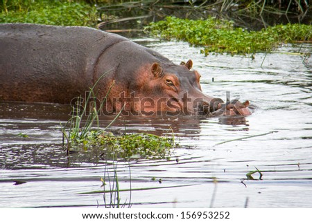 Mother and baby hippo wallowing in watering hole. - stock photo