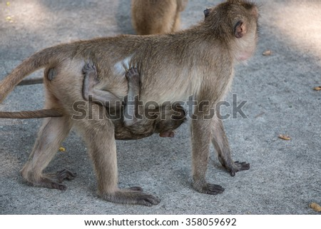 mother and baby money are in temple, a big group of monkeys live in temple and forest in thailand. - stock photo